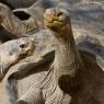 tortoise_galapagos_neck
